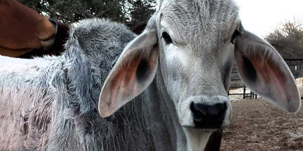Lambert's Ranch - Brahman Cattle